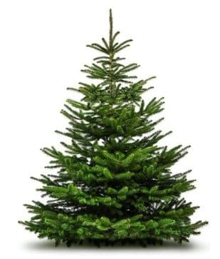 Normand Fir 8ft (240cm) Premium Xmas Tree
