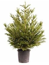 Potted Xmas Tree 3ft (90cm)