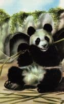 1960s Panda In Zoo I Love Pandas Childrens Ladybird Book Postcard