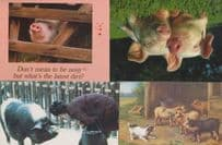 4x Pig Farm Farming incl Guiness Book Of Records Message Postcard s
