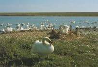 A Nest of Late Newly Hatched Cygnets Abbotsbury Swannery Dorset Postcard
