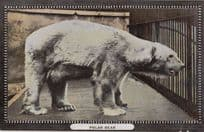 A Polar Bear in 1914 WW1 Antique Postcard