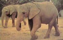 African Elephants At Colchester Zoo Postcard