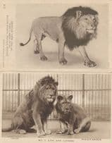 African Lion London Zoo Lioness Museum 2x Old Postcard s