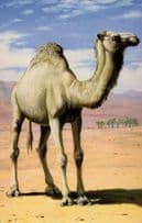 Arabian Thirsty Camel Painting Childrens 1970s Ladybird Book Postcard