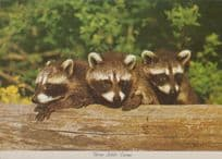 Baby Racoons Three Baby Babues at Richmond Indiana Zoo Postcard