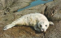 Baby Seal at Isle Of Scilly Postcard