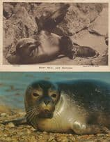 Baby Seal & Mother London Zoo Norfolk Baby 2x Postcard s