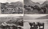Berriedale Hill Brae Deer Highland Cattle Rovers 4x Real Photo Postcard s