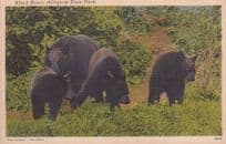 Black Bears at Allegany State Park Linen USA Old Postcard