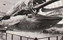 Blue Whale Shark Museum Model 1950s Real Photo Postcard