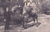 Camel Riding Rides London Zoo Zoological Gardens Postcard