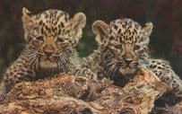 Chinese Baby Leopard Cubs at London Zoo 1970s Postcard