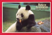 Chinese Giant Panda at Busch Gardens Florida 1980s Postcard