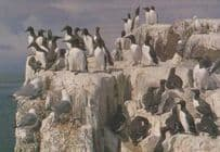 Chinstrap Penguin Penguins Mint Medici 1971 Postcard