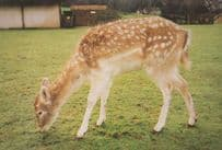 Deer Clover Stansted Essex Mountfitchet Castle Wildlife Park Zoo Rare Postcard