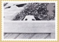 Dog Peeping Over Fence Comic Royal Mail Real Photo Postcard