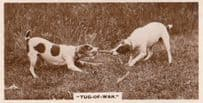 Dog Tug Of War Antique German Real Photo Dogs Cigarette Card
