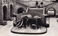 Elephants in British Museum Central Hall London Real Photo Postcard