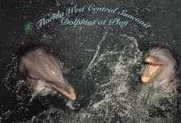 Florida Dolphins at Play Beautiful Postcard