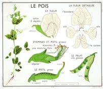 French Pea Le Pois Garden Peas Pod Plant Old School Wall Chart Postcard