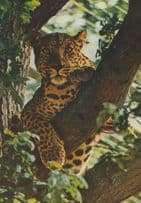Leopard at Marwell Zoo Zoological Park Winchester Postcard