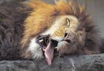 Lion Sleeping With Giant Horrific Tongue From Mouth Postcard