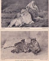 Lion Yawning at Whipsnade Tigress Cubs 2x Antique Big Cat Postcard s