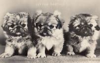 Little Rascals 3x Dogs Real Photo Dog Beautiful Old Postcard