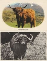 Monarch Of The Glen 2x Postcards incl Antique Real Photo