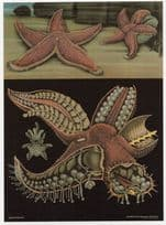 Red Starfish Aquarium Sealife Old School Wall Chart Postcard