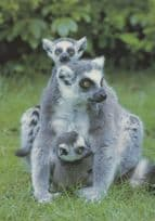 Ring Tailed Lemurs at Marwell Zoo Winchester Postcard