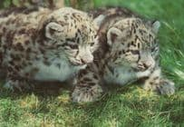 Snow Leopard Cubs at Marwell Zoological Park Postcard