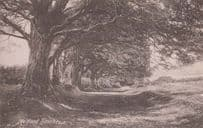 Somerset Holford Beeches Antique Postcard