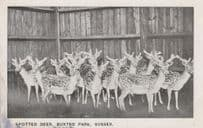 Spotted Deer in Buxted Park Sussex Postcard