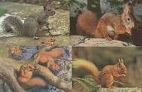 Squirrel Painting Red & More 4x 1970s Postcard s